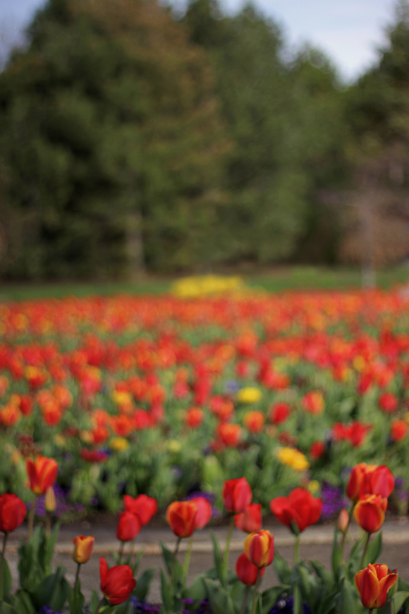 tulips_kandisdesign4