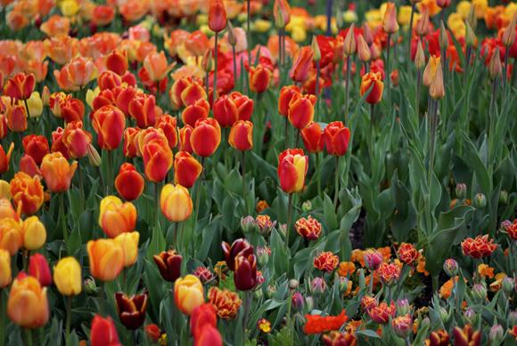 tulips_kandisdesign5