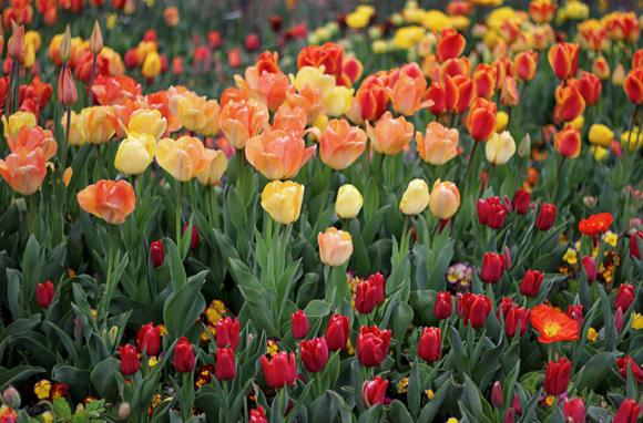 tulips_kandisdesign6